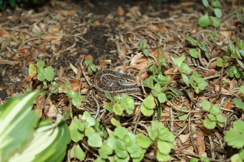 Lizard, Animal, Reptile, Summer