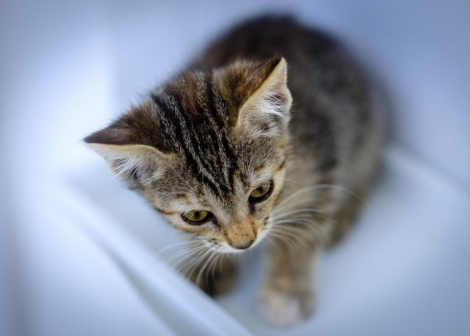 Kitten, Feline, Look, Baby, Animal, Whiskers, Head