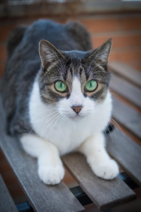 Cat, Kitten, Pet, Feline, Animal, Lying