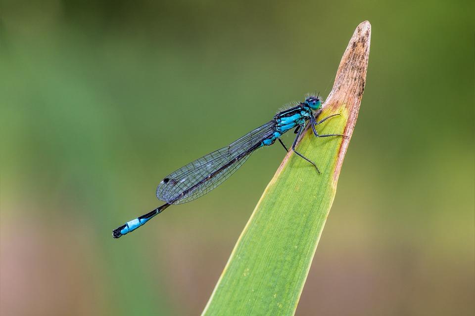 Dragonfly, Macro, Insect, Animal, Animals Wildlife