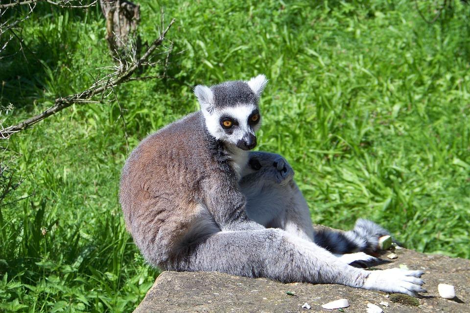 Lemur, Animal, Wild Life, Madagascar, Mammal, Wildlife