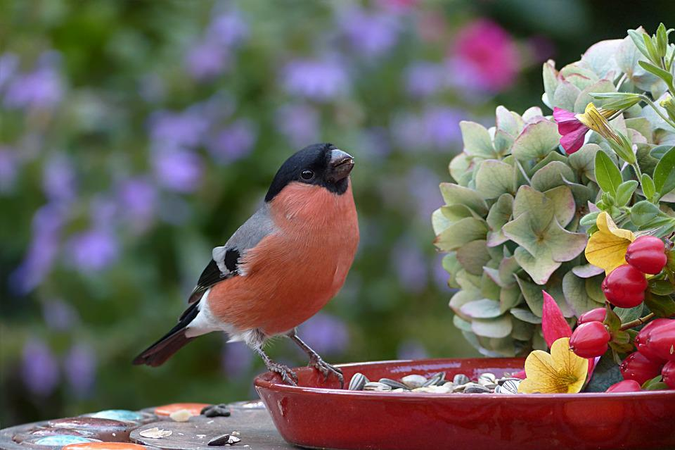 Animal, Bird, Bullfinch, Male, Pyrrhula, Hungry, Meal