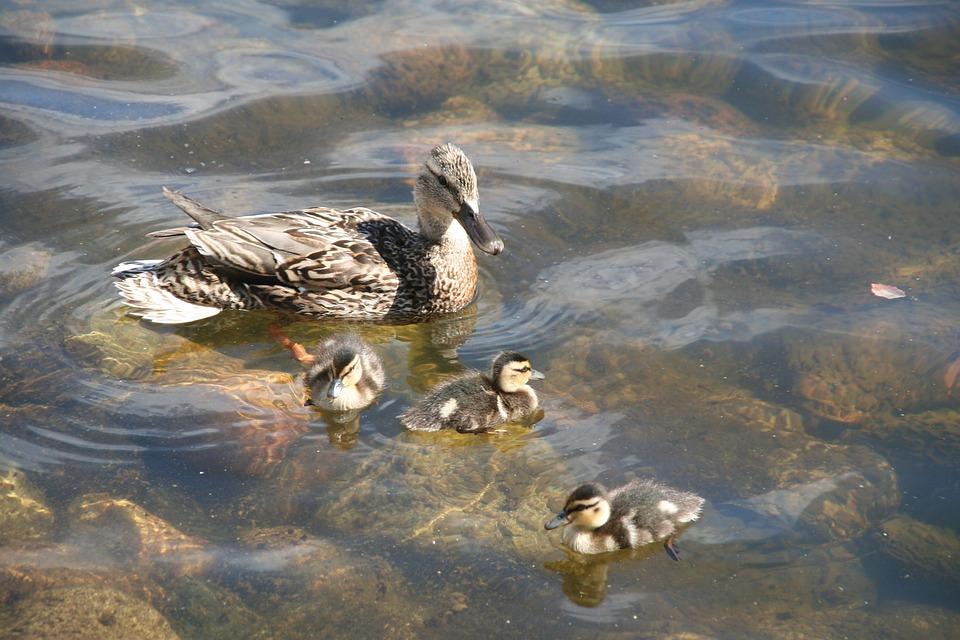 Anas Platyrhynchos, Duck, Mallard, Animal, Ducklings