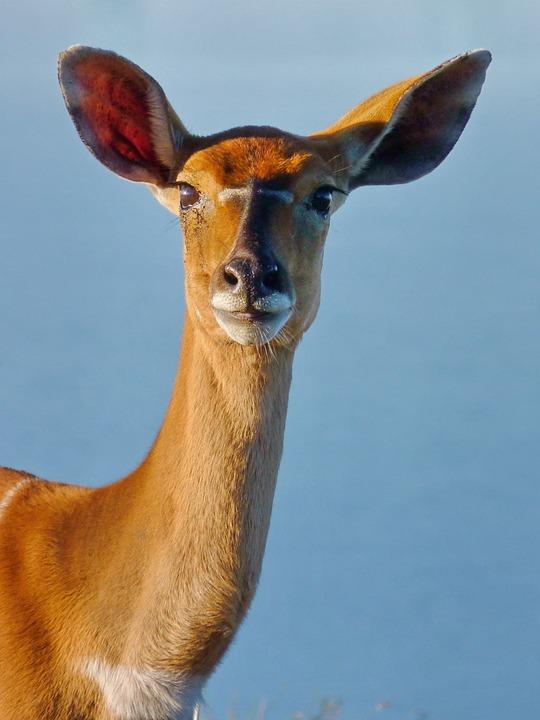 Animal, Mammal, Wildlife, Nyala, Antelope, Animal World