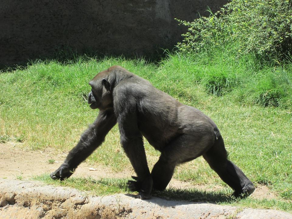 Gorilla, Animal, Wild, Wildlife, Ape, Mammal, Primate