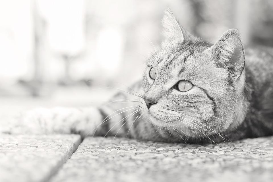 Animal, Cute, Cat, Domestic, Pet, Mammal, Fur, Eye