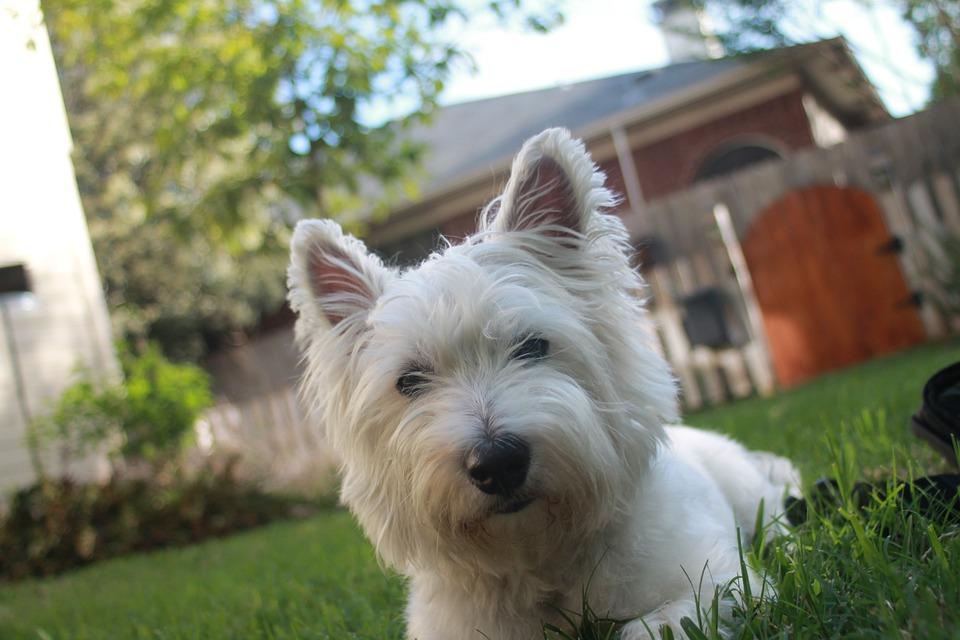 Terrier, White, Dog, Animal, Pet, Canine, Cute, Mammal