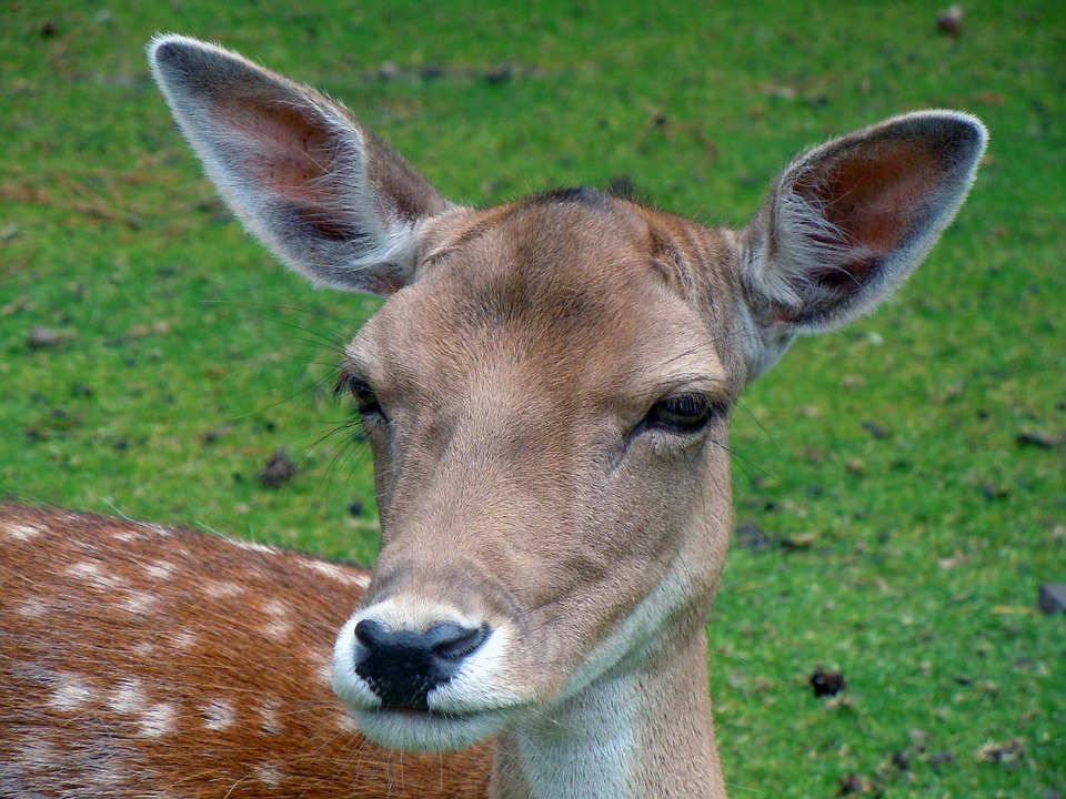 Fallow Deer, Roe Deer, Animal, Mammal