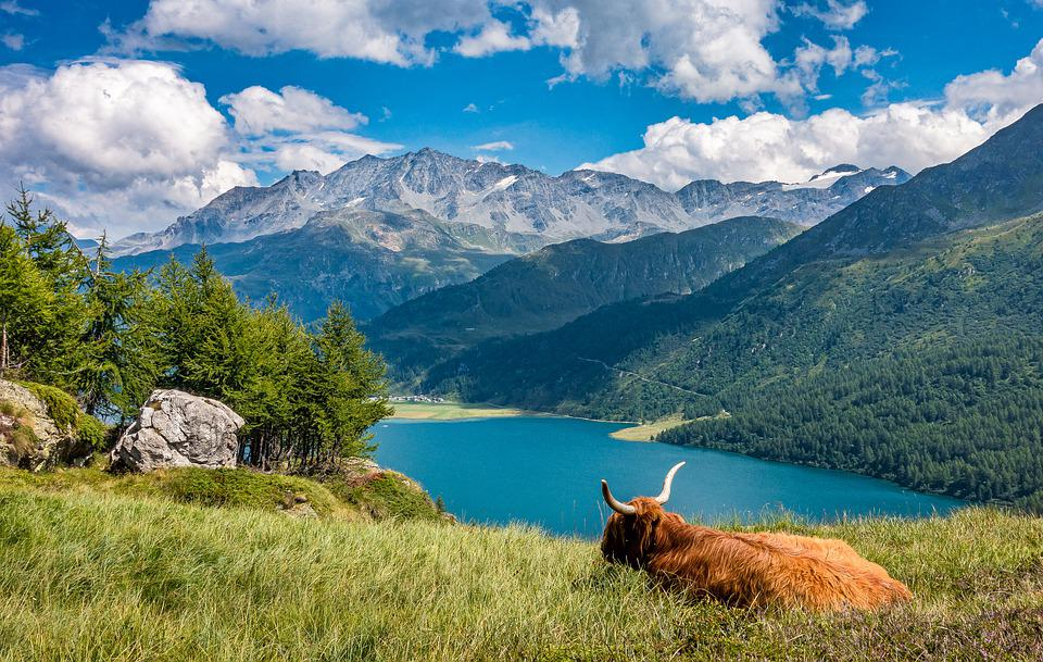 Lake, Cow, Highland Cattle, Animal, Pasture, Mammal