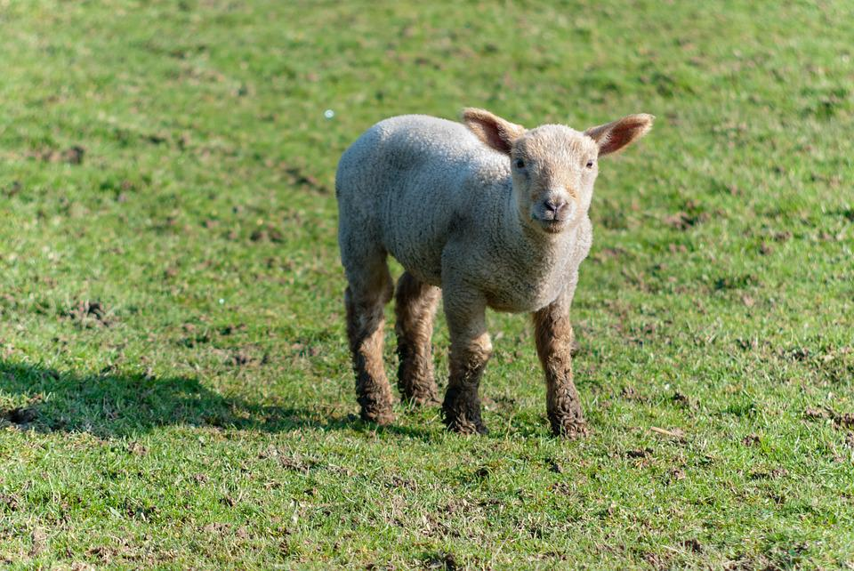 Mammal, Lawn, Animal, Prairie, Sheep, Lambs, Field
