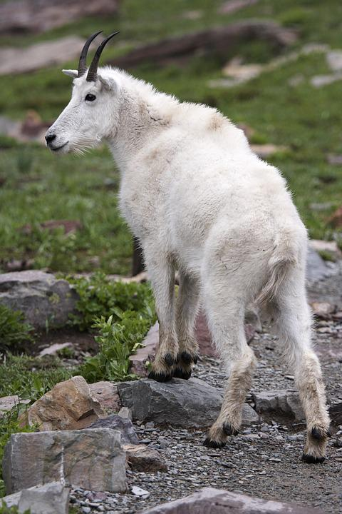 Mammal, Nature, Animal, Outdoors, Wildlife, Goat, Fur