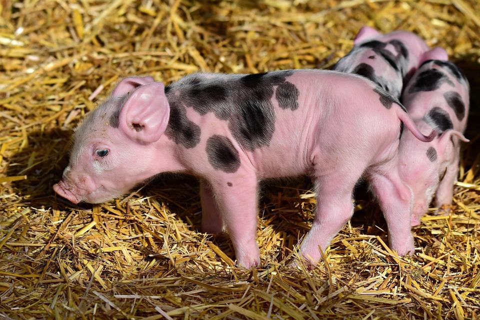 Piglet, Pig, Young, New Born, Animal, Mammal, Farm