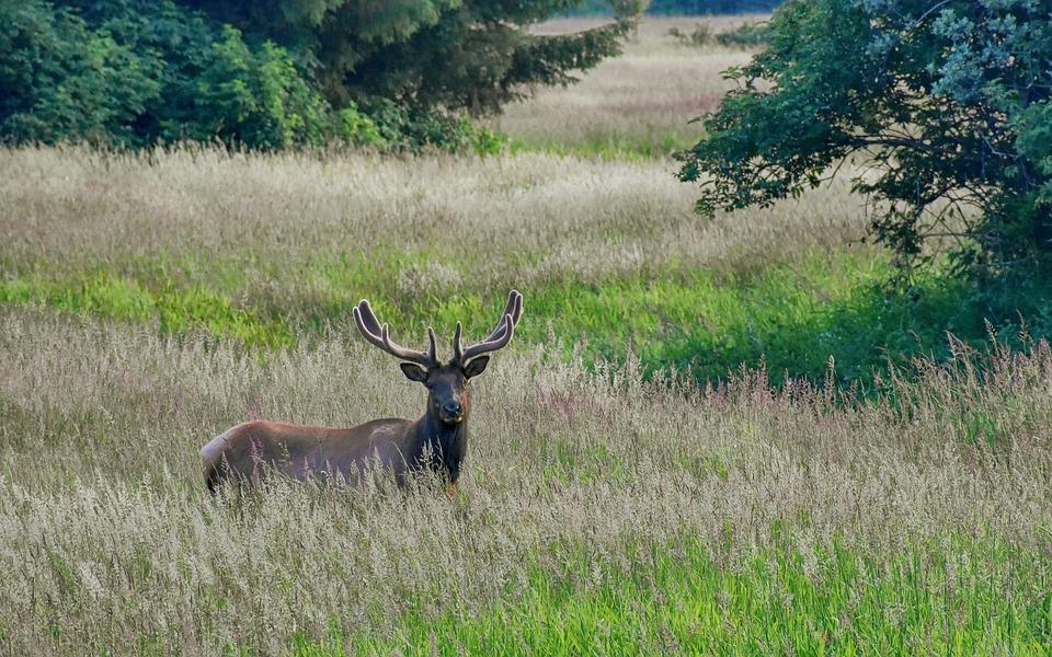 Elk, Animal, Meadow, Deer, Mammal, Stag, Buck, Hunter