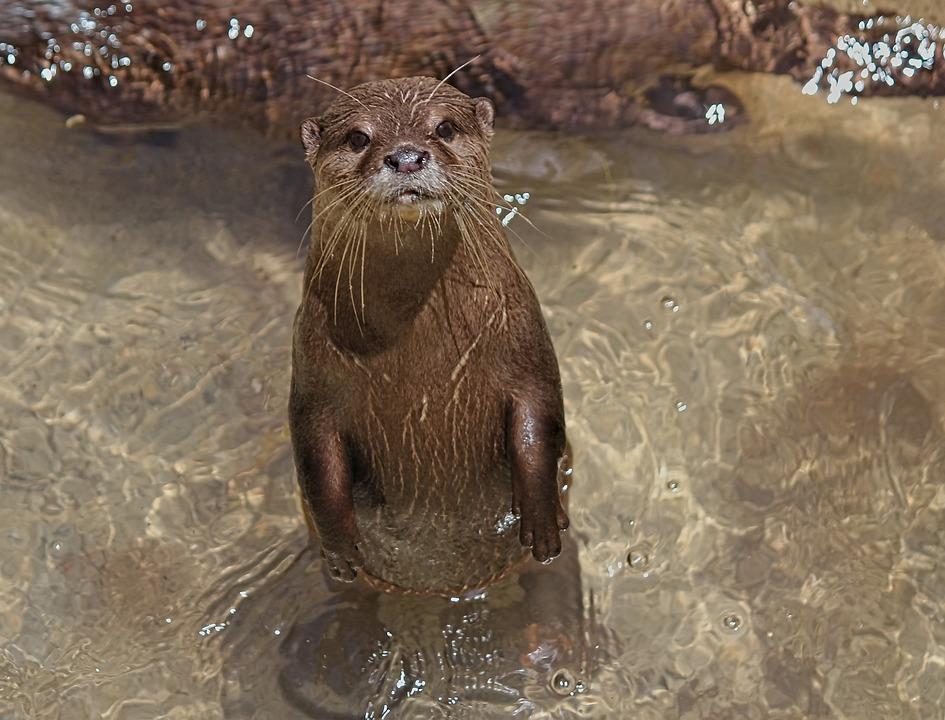 Otter, Small, Asian, Animal, Mammal, Water, River