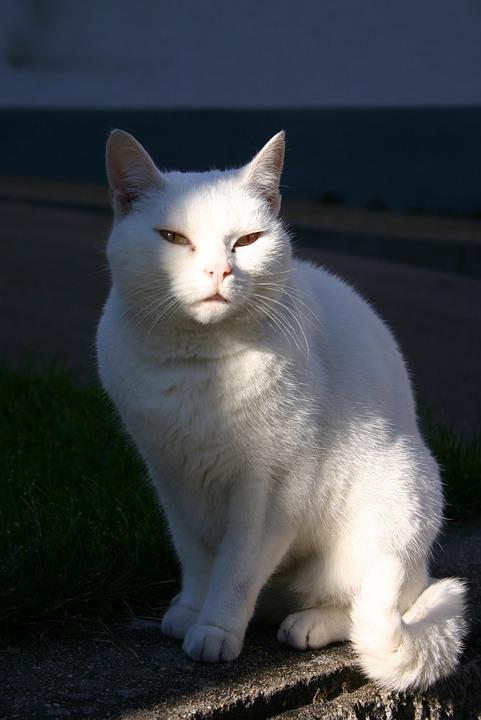 Cat, Pet, Animal, Mammal, White, Sun, Sit, Sitting