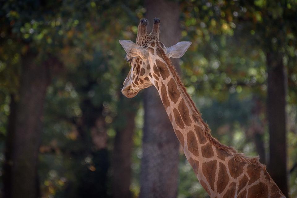 Giraffe, Animal, Safari, Mammal, Wild Animal, Wildlife
