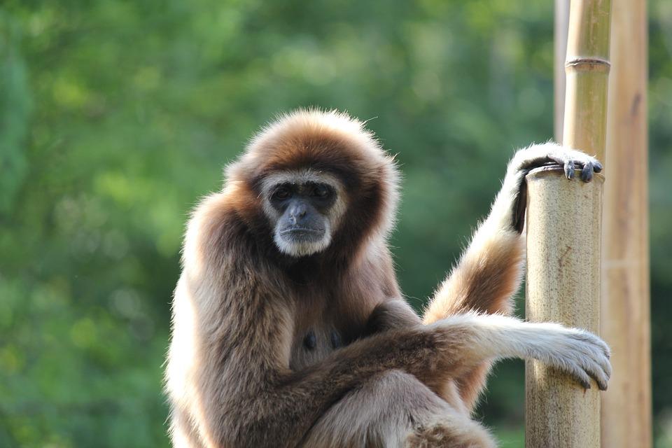 Monkey, Animal, Wildlife, Wild, Mammal, Primate, Fauna