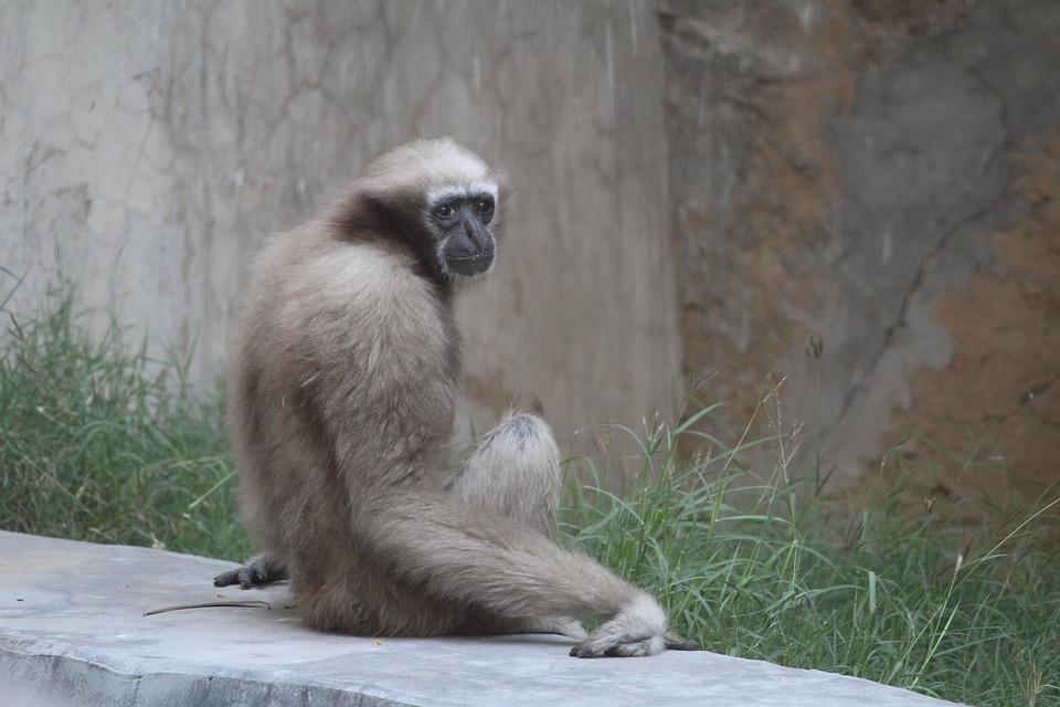 Monkey, Primates, Wildlife, Mammal, Nature, Animal