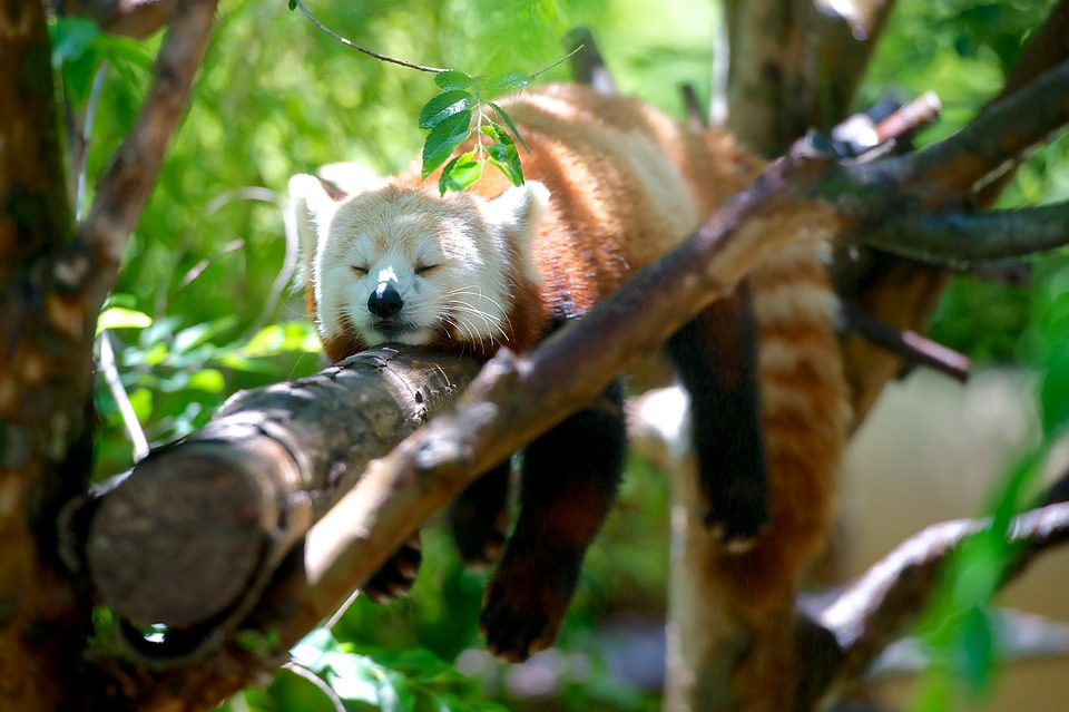 Red Panda, Animal, Red, Panda, Wildlife, Nature, Mammal