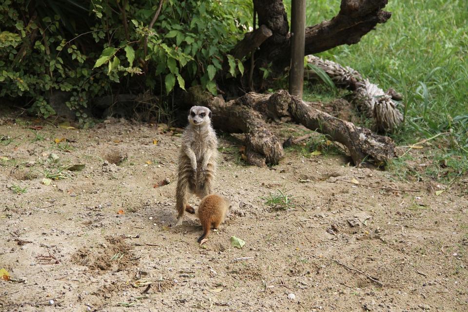Meerkat, Mongoose, Animal, Mammal, Zoo, Wildlife, Wild