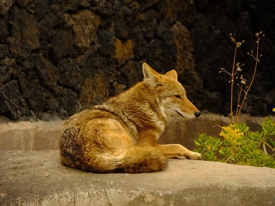 Coyote, Animal, Mammals, Fauna