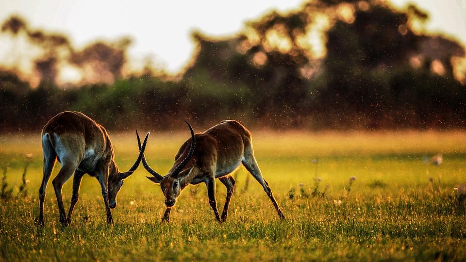 Antelope, Mammals, Animal, Africa, Nature, Wildlife