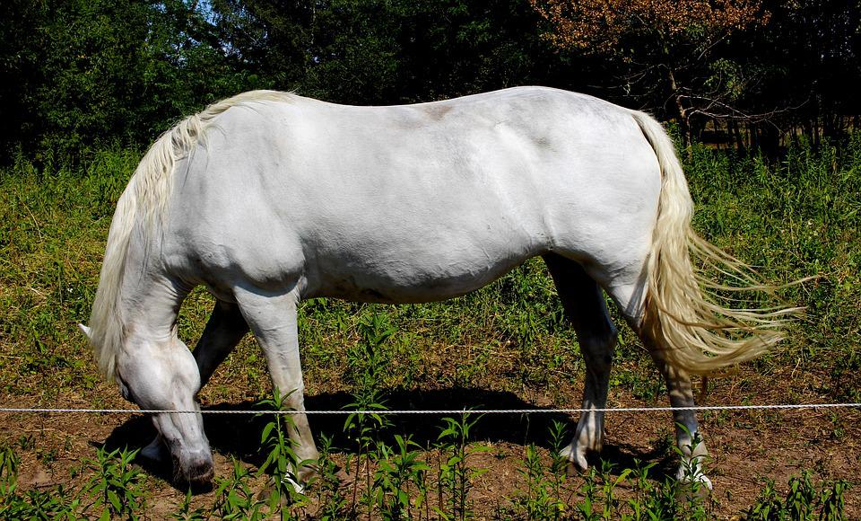Horse, Pasture, White, Animal, Mammal, Mane, Elegant