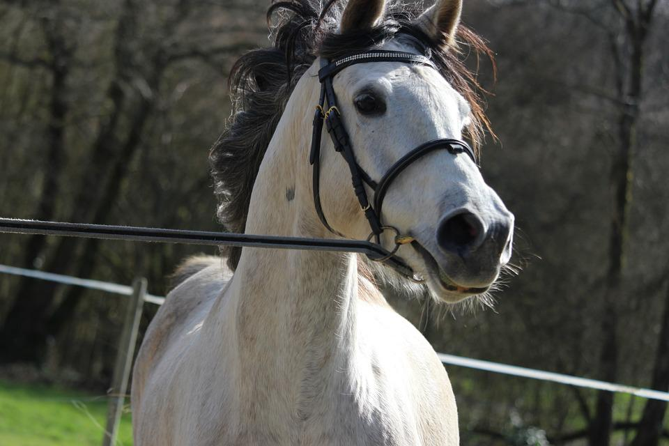 Horse, Horses, Animals, Animal, Mare, Arabian Horse