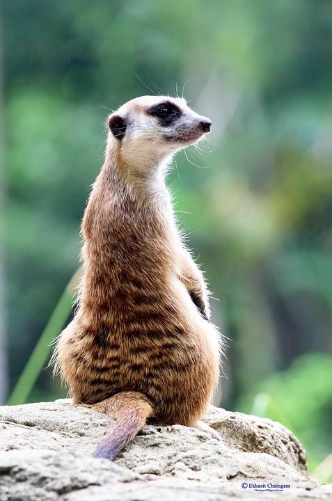 Meerkat, Zoo, Suricata Suricatta, Animal, Wildlife