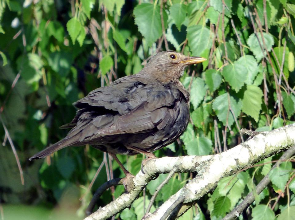 Bird, Merle, Feathers, Nature, Animal, Ornithology