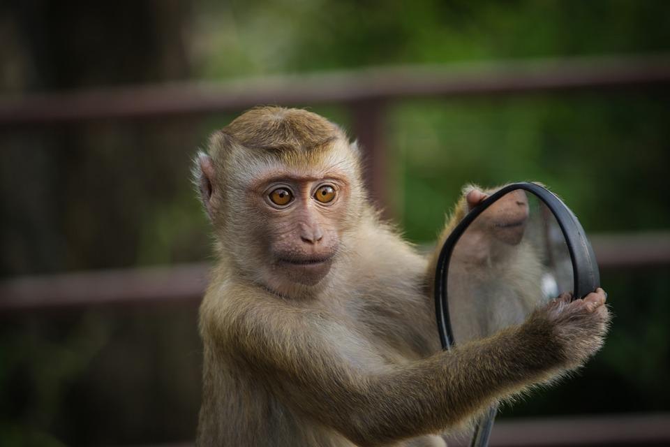 Monkey, Mirror, Mirroring, Animal