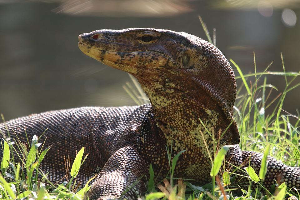 Monitor, Lizard, Reptile, Animal, Scaly, Close Up