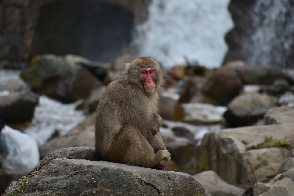 Animal, Monkey, Baby Japanese Macaque Eating Leaves