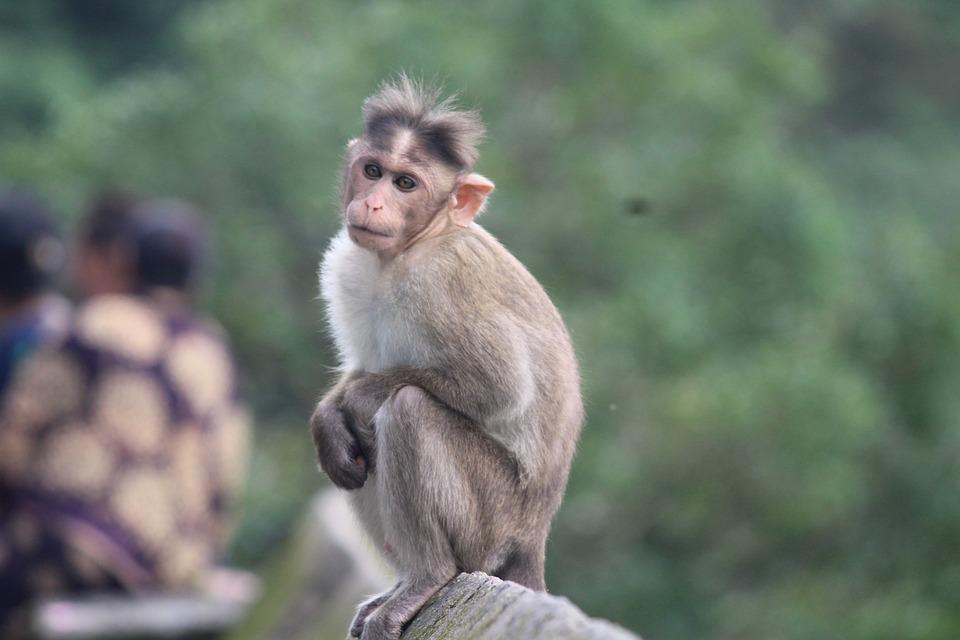 Monkey, Background, Animal, Nature, Cute, Wildlife
