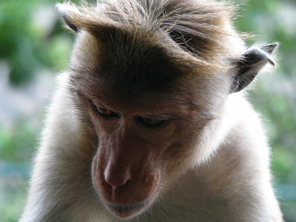 Monkey, Animal, Wild
