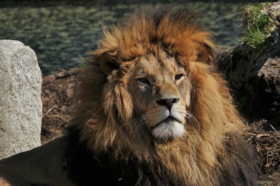 Lion, Animal, Predator, Portrait, Hellabrunn, Munich