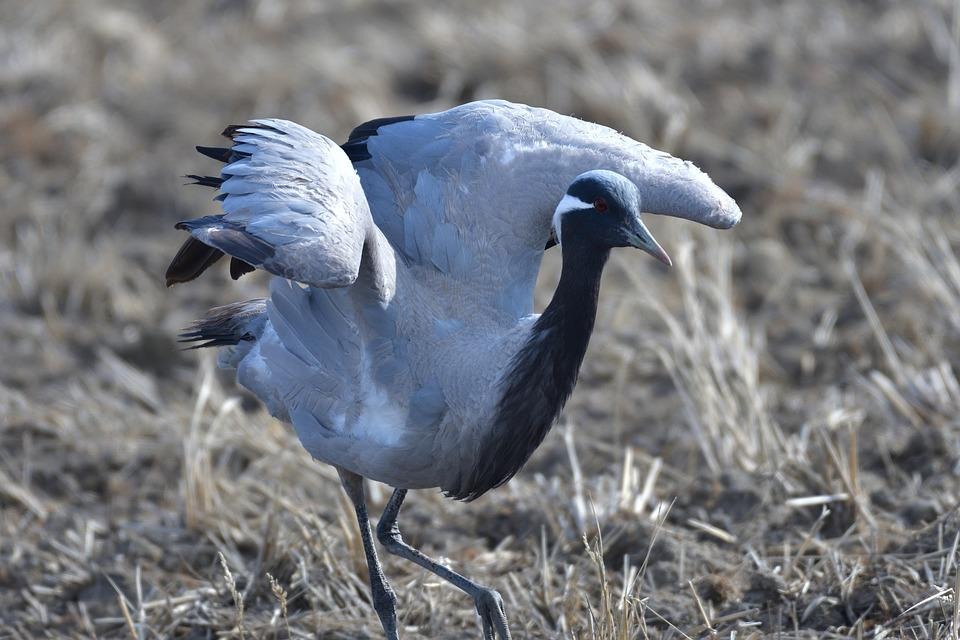 Bird, Wild Animals, Natural, Animal, Wild, Crane