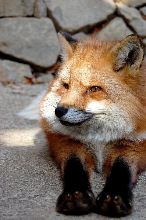 Mammal, Fox, Animal, 犬科, Carnivores, Natural, Zoo