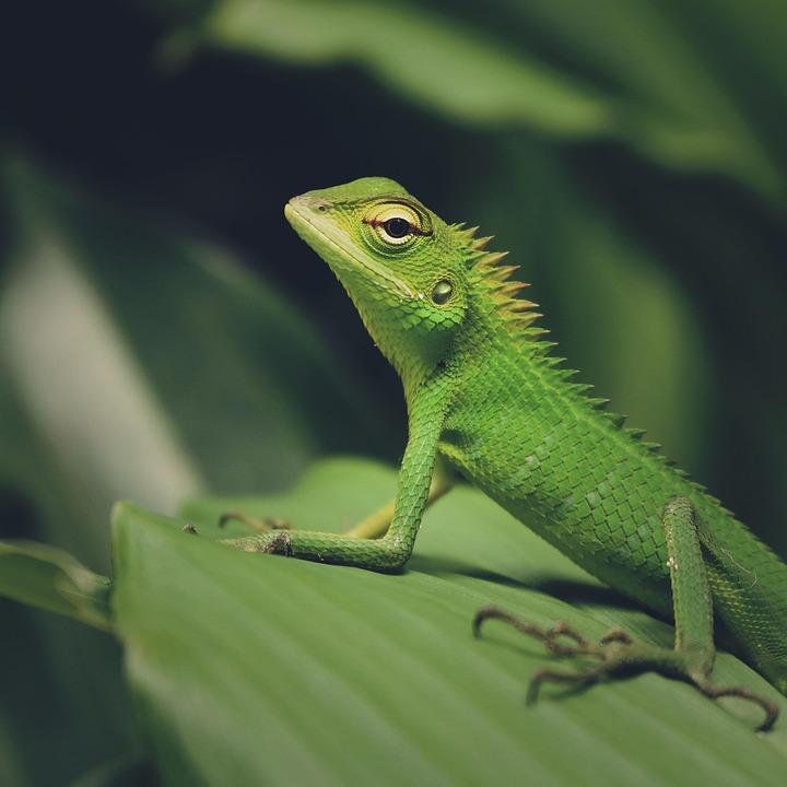 Animal, Nature, Macro, Natural, Color, Wild, Lizard