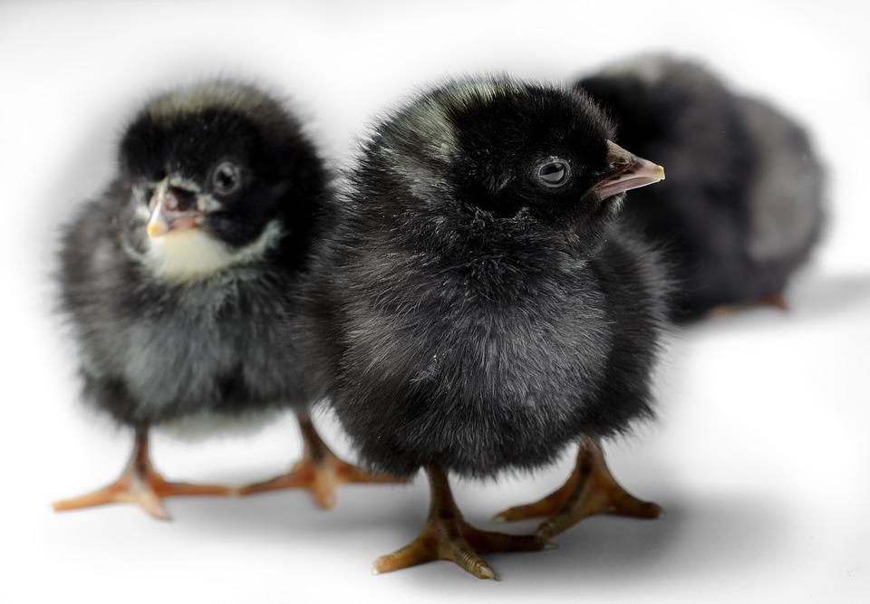 Chicken, Animal, Farm, Bird, Poultry, Chick, Natural