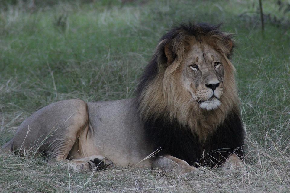 Lion, Africa, Nature, Wildlife, Safari, Animal, Male