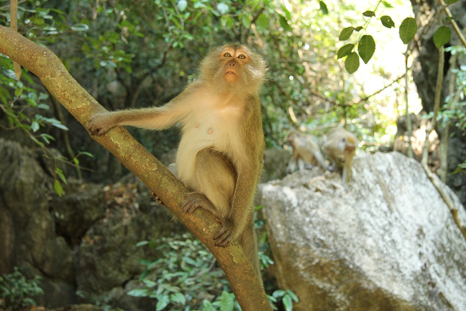 Asia, Monkey, Nature, Animal, Animal World, Forest