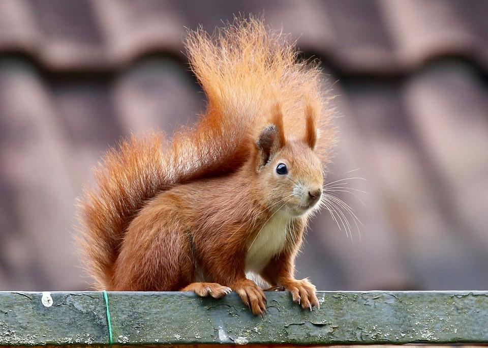 Animal, Squirrel, Nager, Nature, Animals