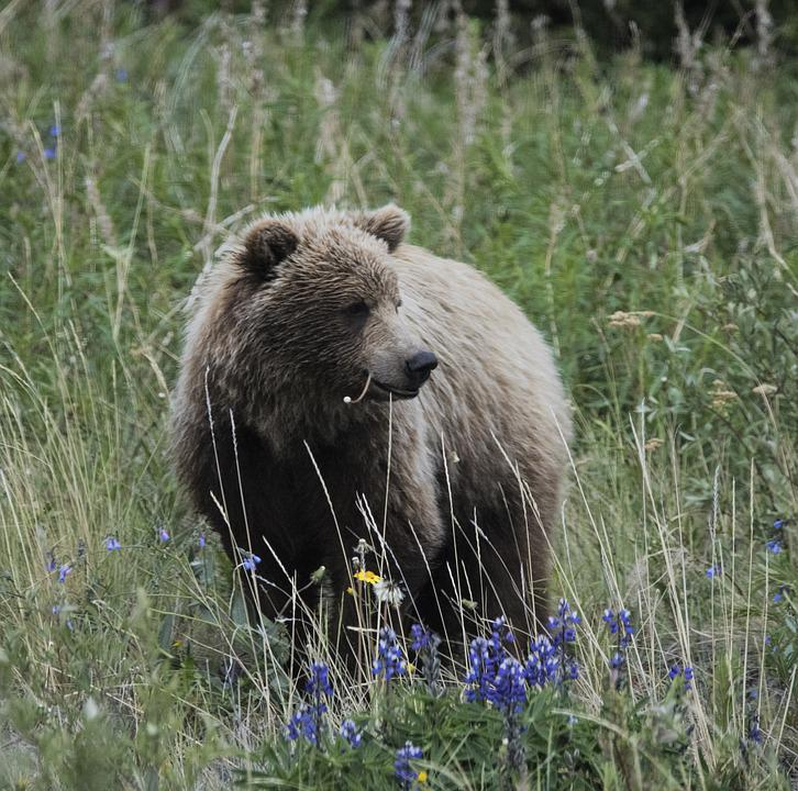 Bear, Animal, Nature, Bears, Mammal, Grizzly, Young