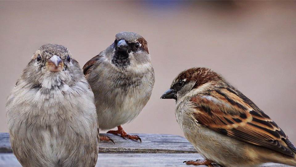 Sparrows, Birds, Bird, Sparrow, Nature, Animal