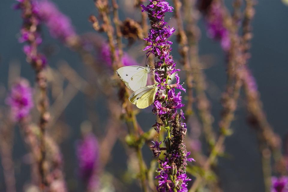 Butterfly, Nature, Insect, Animal, Flower, Summer, Blue