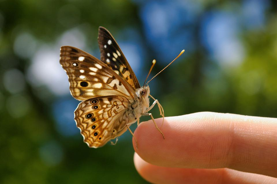 Butterfly, Butterflies, Insect, Nature, Animal