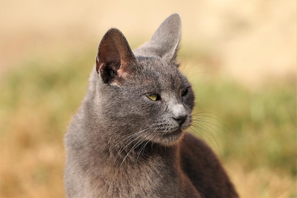 Cat, Grey, Animal, Domestic, Head, Face, Nature