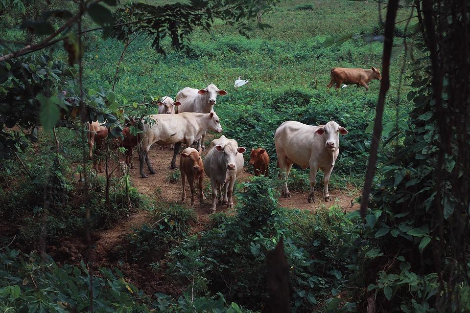 Cows, Calve, Calf, Nature, Livestock, Cattle, Animal
