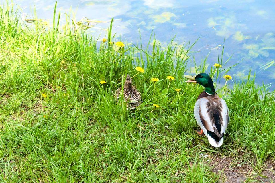 Mallard Duck, Duck, Nature, Park, Animal, Bird, Mallard